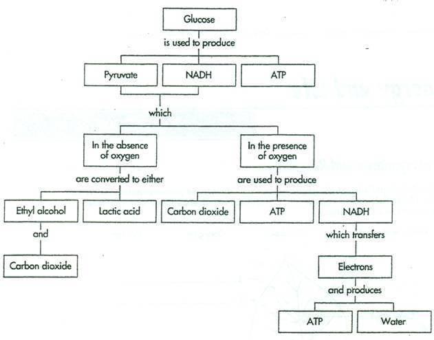 Flowchart On The Process Of Cellular Respiration Brainly