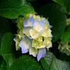 flordelhizayhen