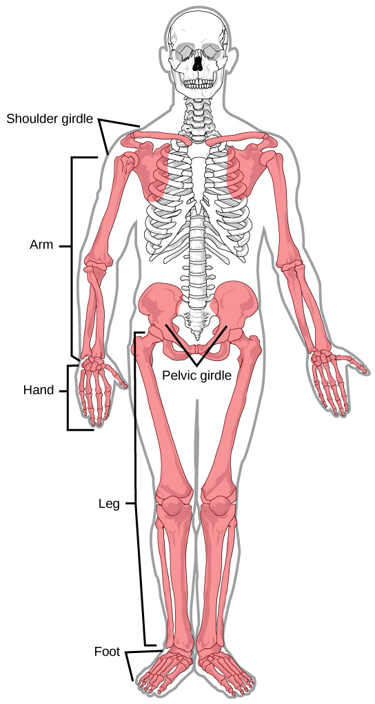 What is the definition of appendicular skeleton? - Brainly.ph