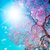 blossom31